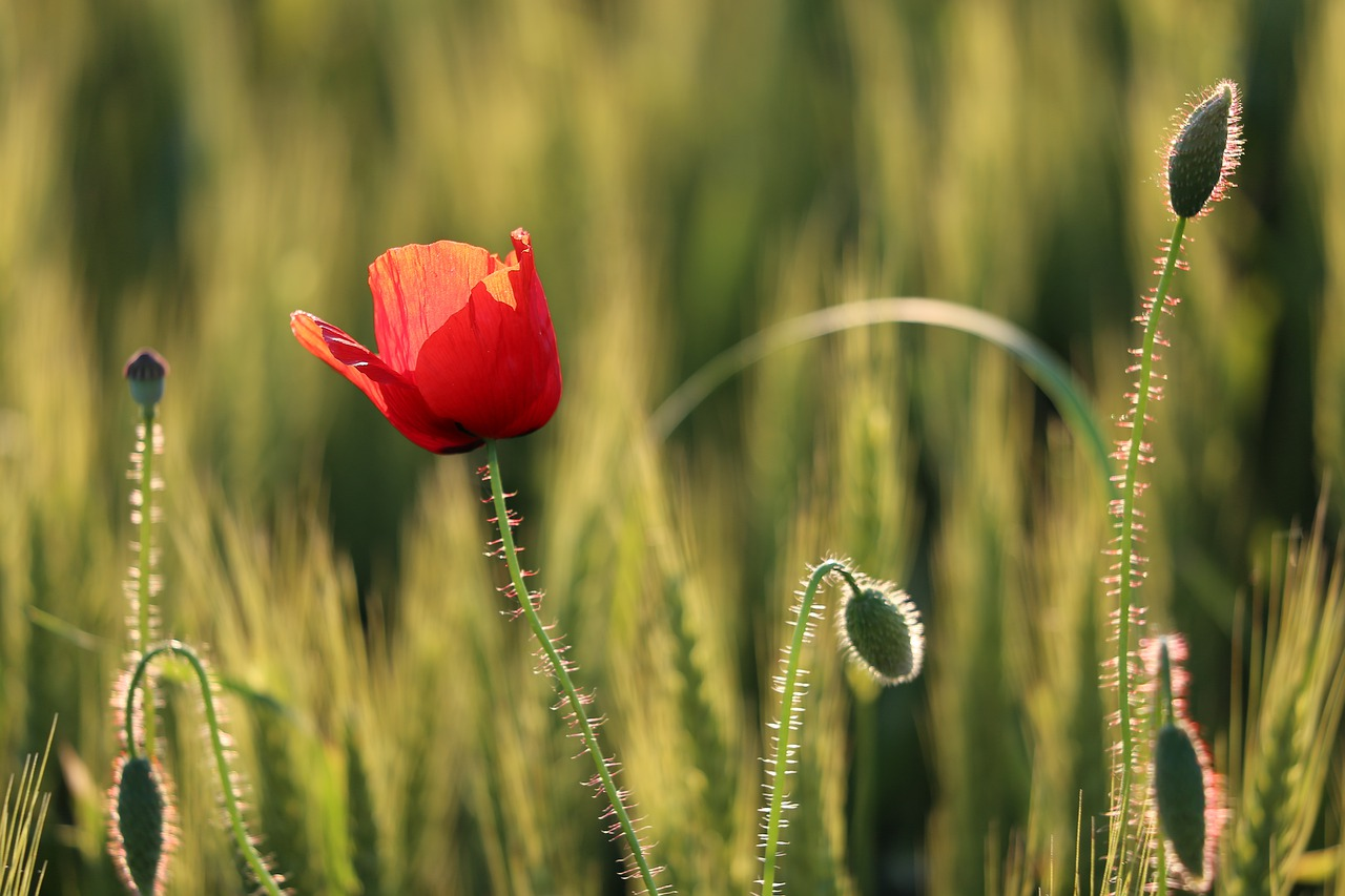 red-poppy-4267537_1280